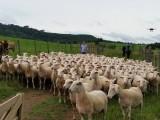 Encontro de Ovinocultura na fazenda, Pinheiro Seco, município de Bom Retiro